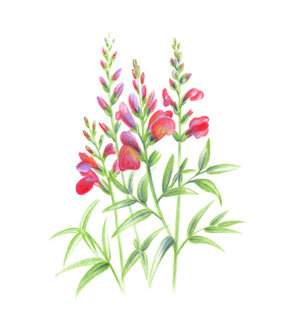and technique: Beautiful Snapdragon flowers, color pencils hand draw technique