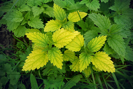 traditional healer: Green stinging nettle (urtica dioica) closeup natural background Stock Photo