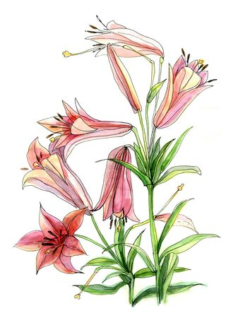 lilium: Hand draw watercolor flower of lily on white paper