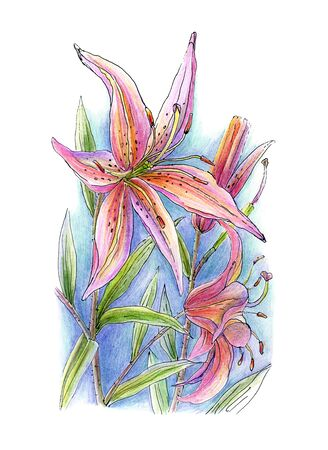 Hand drawn flower of lily ,color pencils and pen technique
