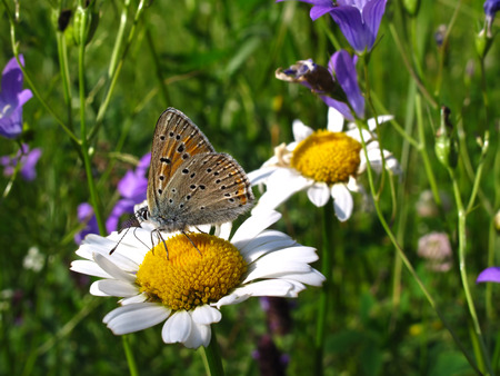 chamomile flower: Beautiful butterfly on a chamomile flower closeup Stock Photo