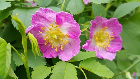 Beautiful flowers of a pink wild rose