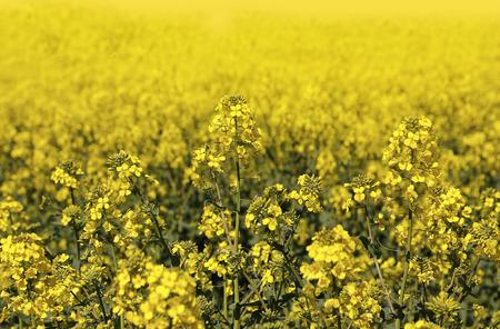 cress: Field of bright yellow flowers winter cress