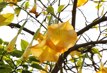 Blossom yellow brugmansia named angels trumpet or Datura flower Stock Photo