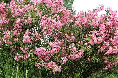 Nerium Oleander bush with beautiful pink flovers