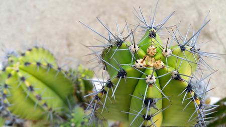 Cactus with big sharp needles close up
