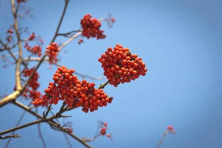 mountain ash: Branches of mountain ash with bright red berries against the blue sky background