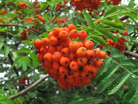 sorb: Mountain ash. Rowan-tree. The fruits of mountain ash. Rowan berries ripen on the tree.