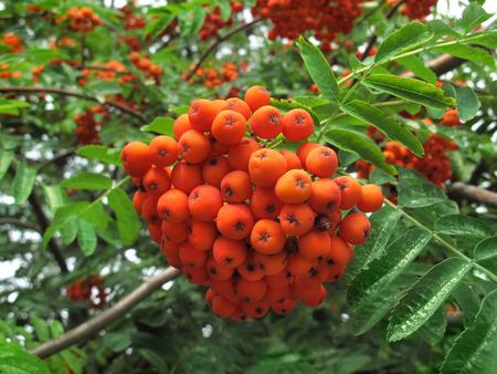 mountain ash: Mountain ash. Rowan-tree. The fruits of mountain ash. Rowan berries ripen on the tree.