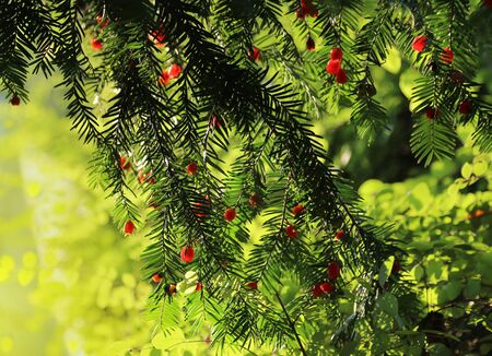 Red berries growing on evergreen yew tree in sunlight, European yew (taxus baccata) tree Stock Photo