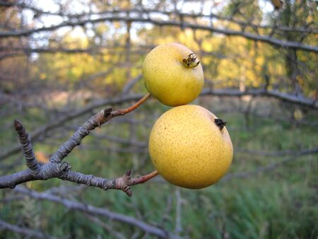 wilding: Branch of wild pear with two fruit Stock Photo