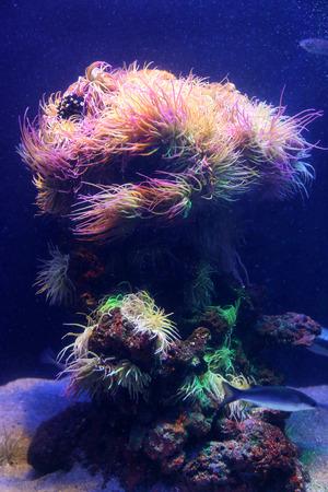 dive trip: Amazing marine animals closeup in aquarium (anemonia, actinia, anemone)