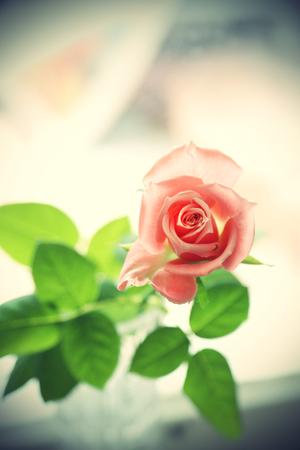 Beautiful pink rose, vintage effect