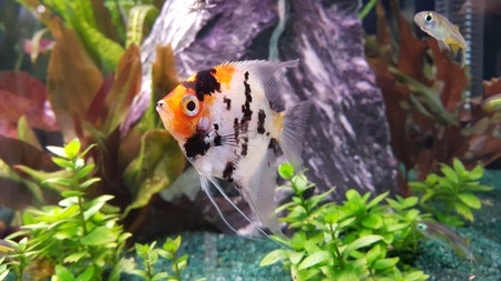 pterophyllum scalare: Portrait of freshwater angelfish (Scalare, Pterophyllum scalare), orange black white silver color