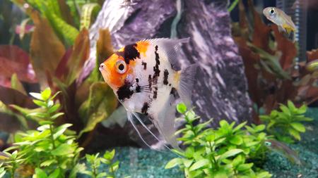 Portrait of freshwater angelfish (Scalare, Pterophyllum scalare), orange black white silver color