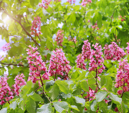 Branches of the red blooming horse-chestnuts with leaves and inflorescence in sunlight Stock Photo