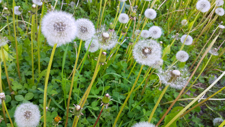 Close-up of beautiful white dandelions Stock Photo