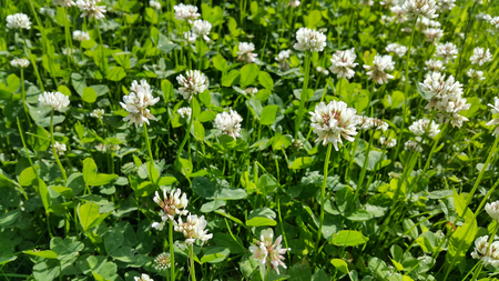 clovers: Close up of white clover in a summer meadow Stock Photo