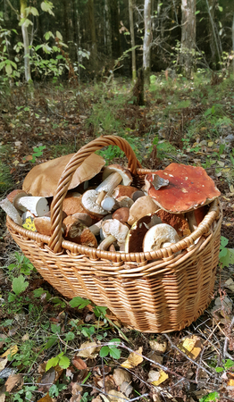 Basket with edible mushrooms in forest