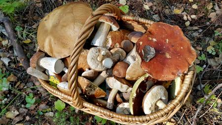 fungi: Full basket with edible mushrooms