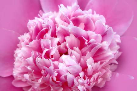 Natural background with pink peony flower close-up Stock Photo