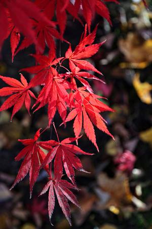 Close-up of bright red branch of Japanese maple or Acer palmatum on the autumn garden Stock Photo