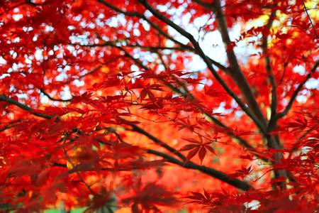 Bright red Japanese maple or Acer palmatum leaves on the autumn garden