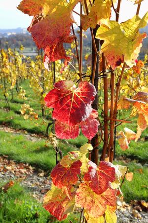 De herfst heldere kleurrijke struik van druif in zonlicht
