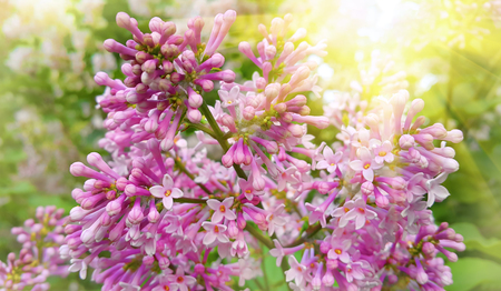 Close-up of branch of spring blossoming lilac bush with bright sunlight Banco de Imagens