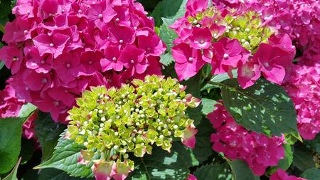 Close-up of beautiful bright flowers of Hydrangea (Hydrangea macrophylla) in a garden.