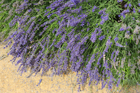 Beautiful blooming lavenders, close-up in summer garden Фото со стока