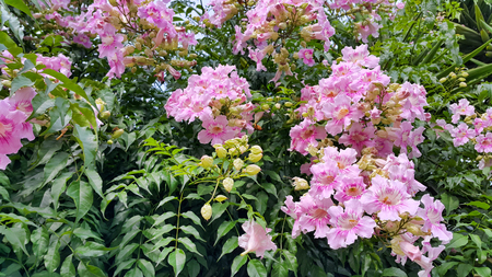 Beautiful flowers of Pink Trumpet vine or Port St Johns Creeper (klimop) or Podranea ricasoliana or Campsis radicans or Trumpet creeper or Cow itch vine or Hummingbird vine flowers