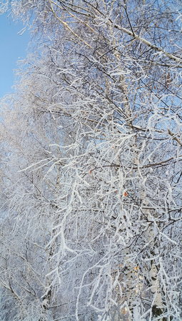 Beautiful birch branches covered with snow and hoarfrost on a clear winter day