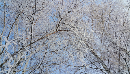 Beautiful branches of birch trees covered with snow and hoarfrost on a clear winter day 免版税图像