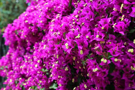Beautiful bright branches of flowering bougainvillea