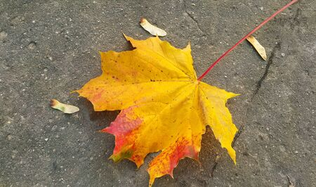 Bright colorful autumn maple leaf on the pavement