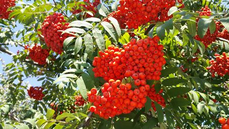Branches of mountain ash with bright red berries Stock Photo