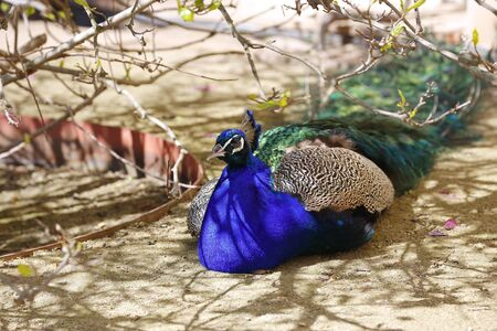 Beautiful peacock resting in the shade of tree