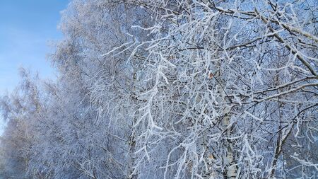 Beautiful branches of trees covered with snow and hoarfrost on a winter day
