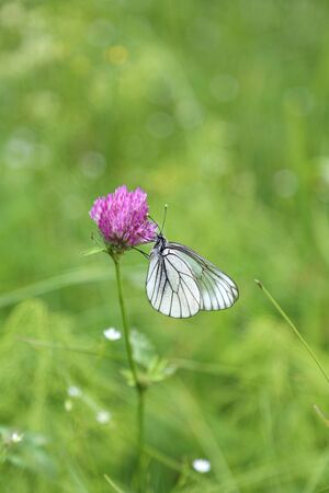 Beautiful butterfly on a pink clover in sunny summer