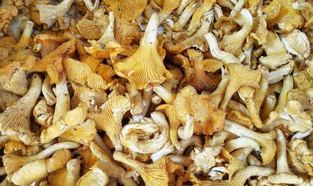 Edible Chanterelle mushrooms close-up, vegetarian food