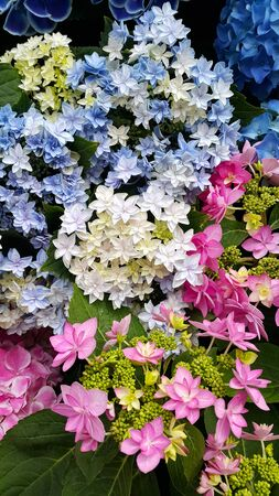 Close-up of beautiful colorful bright flowers of Hydrangea (Hydrangea macrophylla) 版權商用圖片