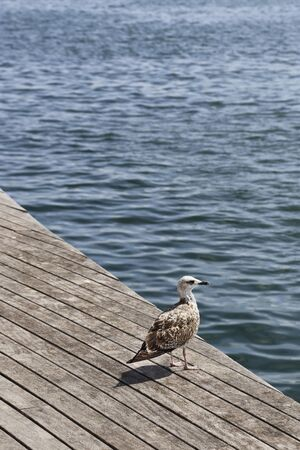 Beautiful seagull standing on the wooden pier and looking at the sea