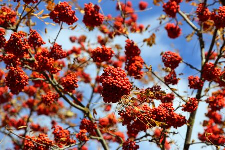 Branches of autumn mountain ash or rowan with bright red berries against the blue sky background