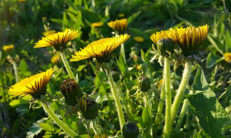 Beautiful bright yellow dandelions lit by the evening sun blooming in spring, close-up