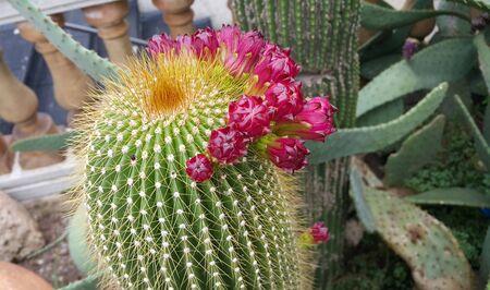 Prickly cactus with beautiful crimson buds close-up Banco de Imagens