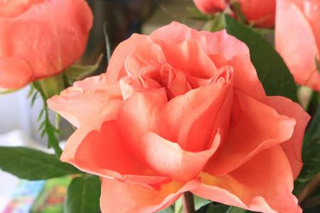 Beautiful delicate rose close up