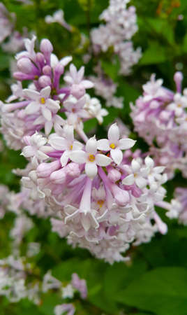 Branch of spring lilac bush with beautiful flowers, close-up