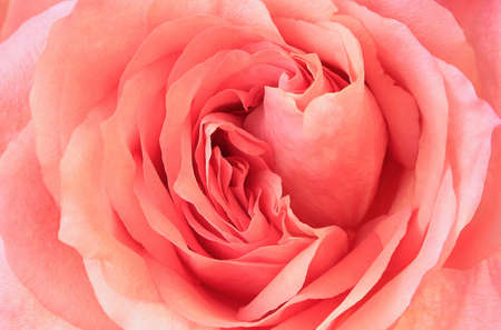 Beautiful delicate pink rose flower close upnatural background