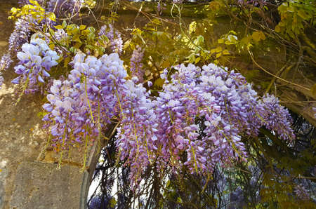 Beautiful wisteria flowers on ancient stone wall with arch entrance
